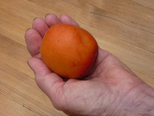 a freshly picked apricot held in a hand