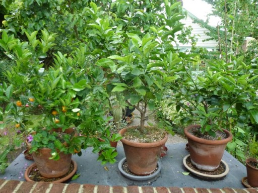 orange and lemon trees in old pots