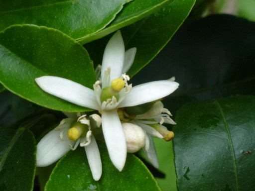 freshly opened orange blossom