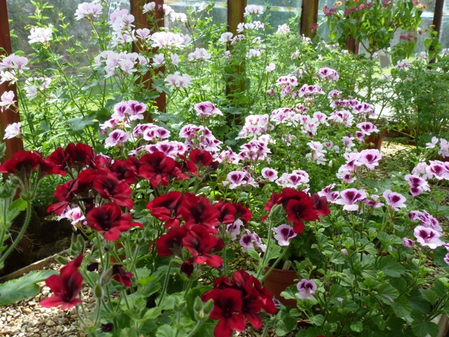 pelargoniums in the glasshouse at Petsworth