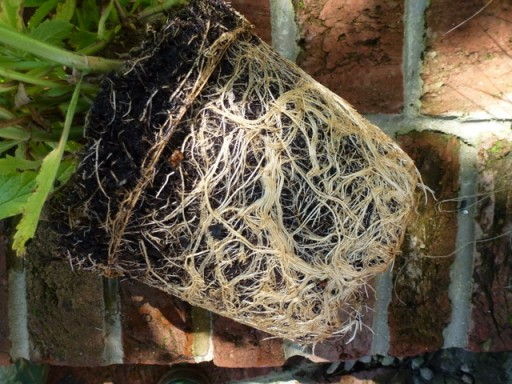the root ball of a pot plant