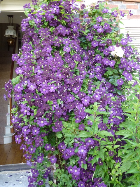 a purple clematis in full flower