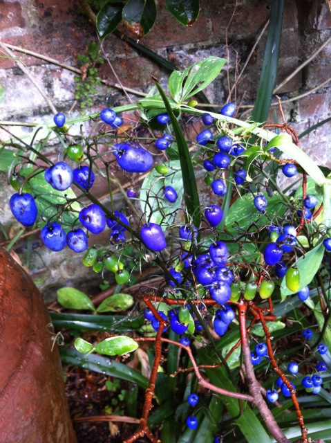 the amazing blue berries of Dianella caerulea