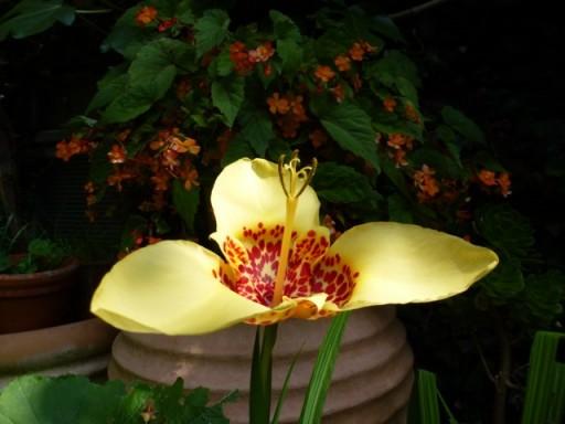 Tigridia in bloom