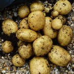 crop of potatoes being unearthed