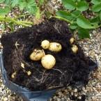 proof of potato crop in bag