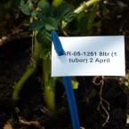 thompson and morgan trial potato crop