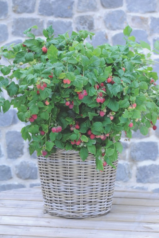 raspberries growing in a wicker basket