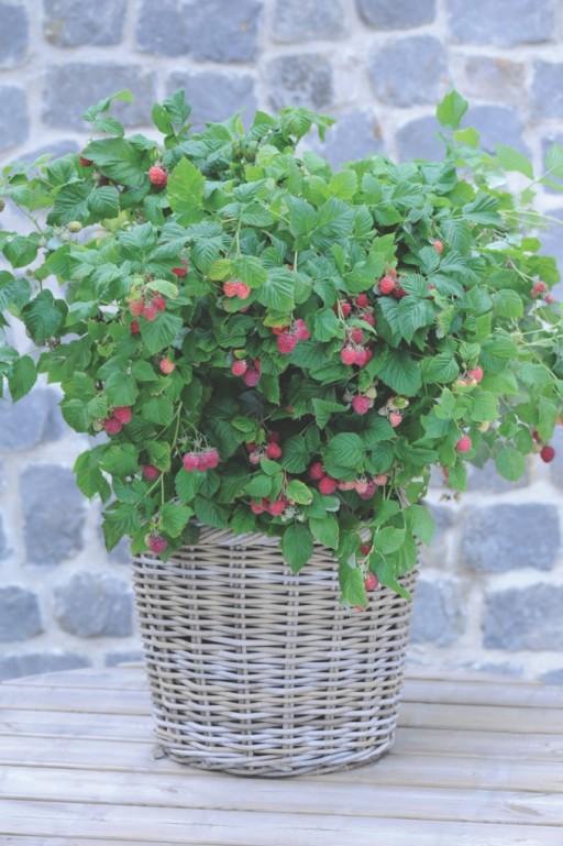 raspberries growing in a wicker basket