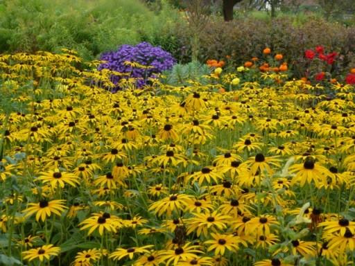 drifts of yellow flower