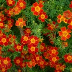 flwoering annuals