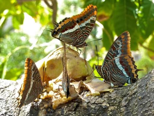 butterflies feeding in Gibraltar Botanic Gardens