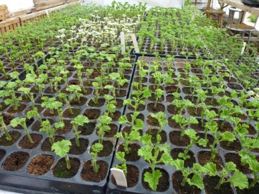 pelargonium cuttings being propagated en masse