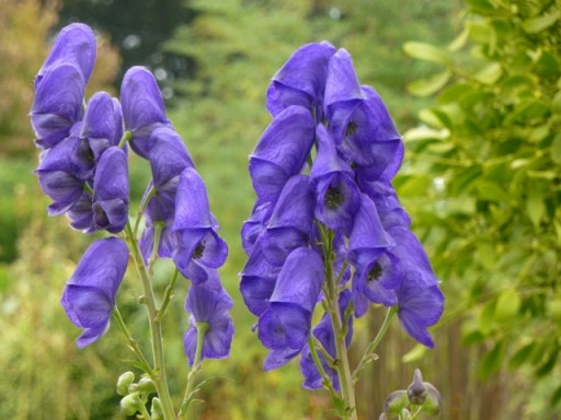 purple tall flowers