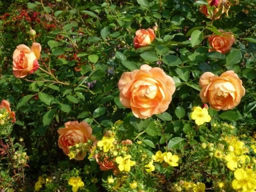 close up of rose in Hot border at Bowood