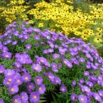 yellow and purple flowers together