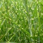 zebragrass