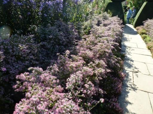 Aster laterifolious alongside a garden path