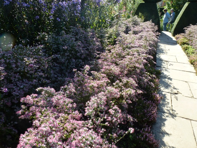 Aster laterifolious alongside a garden path