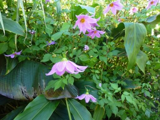 Dahlia merckii in flower at great dixter