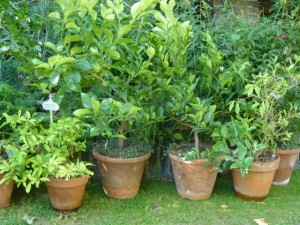 pots of citrus trees