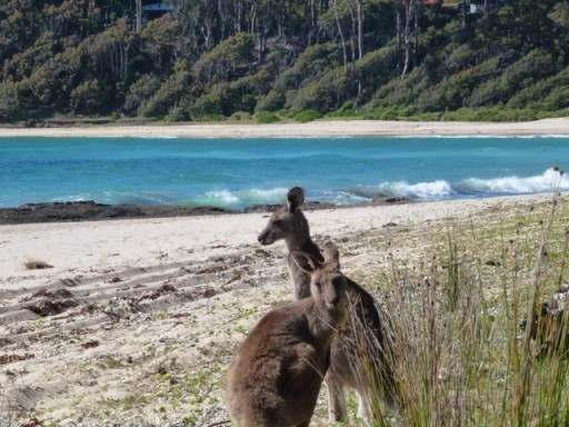 Wallabies on a beach in Australia