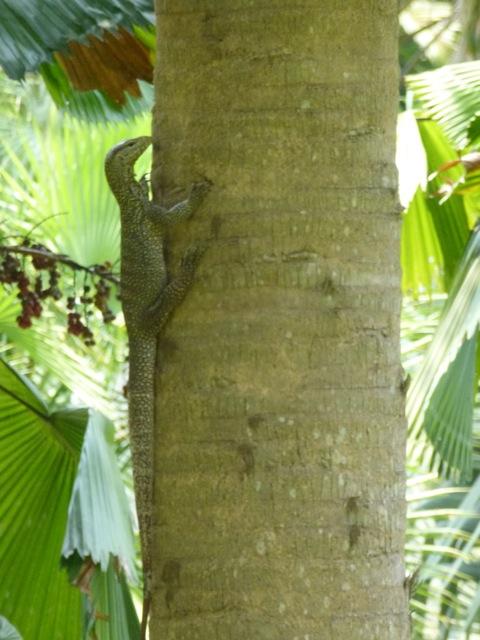 a monitor lizard climbing a tree