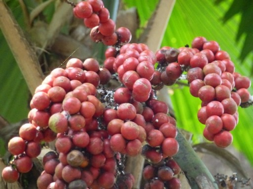 the seeds of a sago palm
