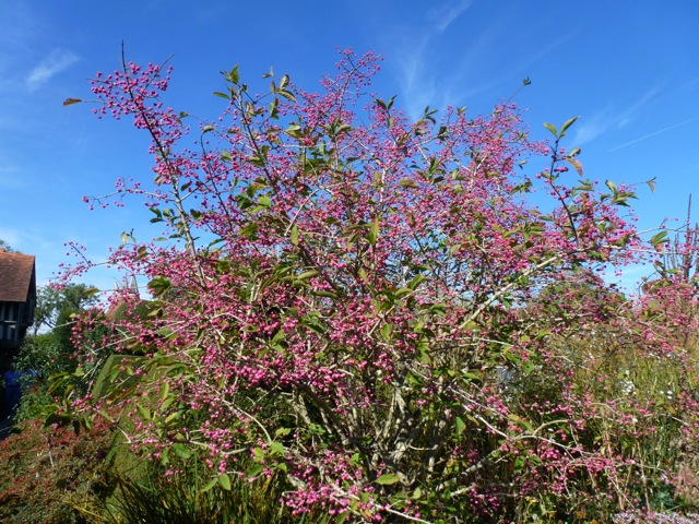 spindleberry in flower offset against a blue sky