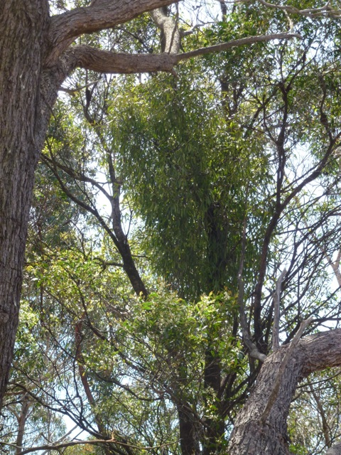 mistletoe growing from a tree in Australia