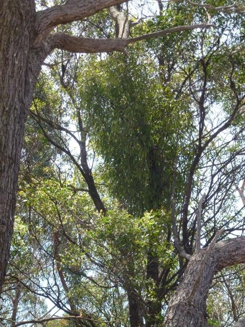 mistletoe growing from a tree in Australia
