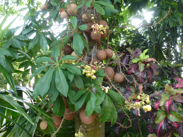 the fruit of the cannonball tree  on the tree itself
