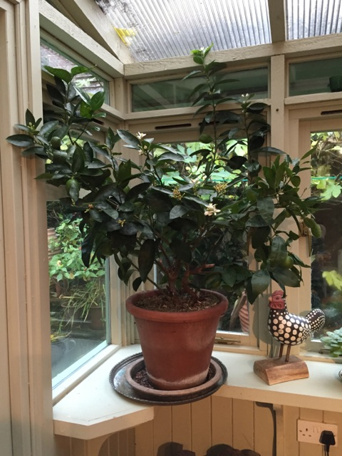 citrus tree in conservatory