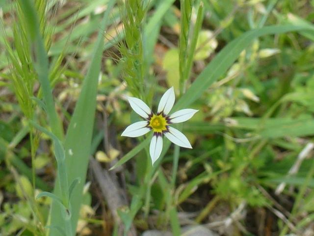 single flower of early nancy