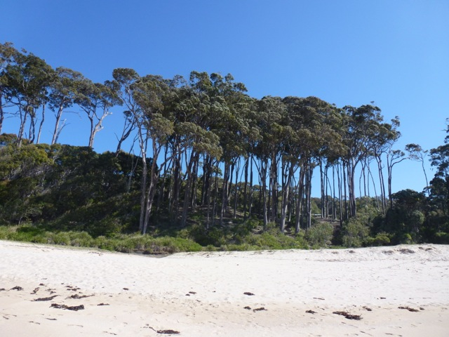 eucalyptus towering above beach with blue skies above