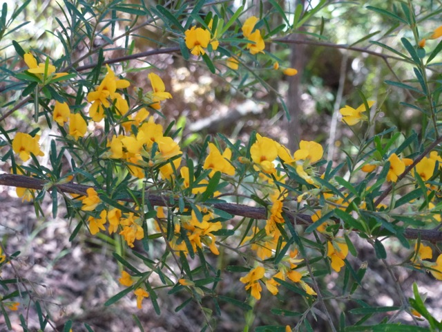 yellow flowering giant wedge pea