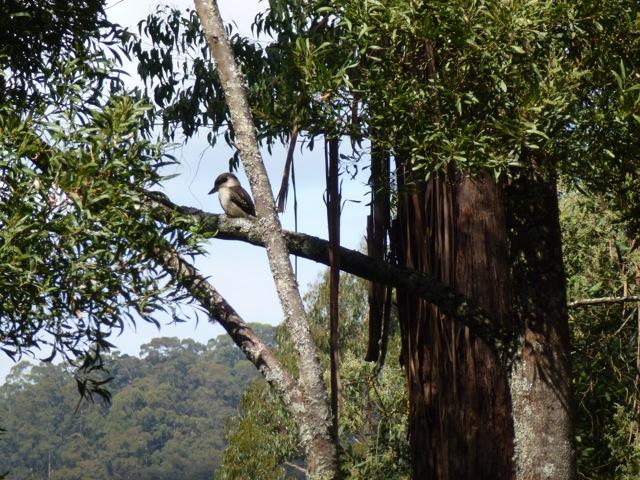 kookaburra in a tree at Phillip Johnson's house