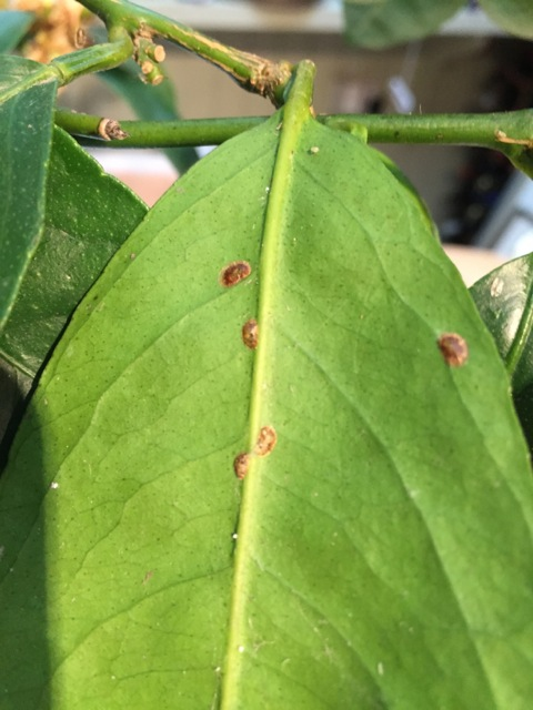 mealy bugs on citrus tree leaves