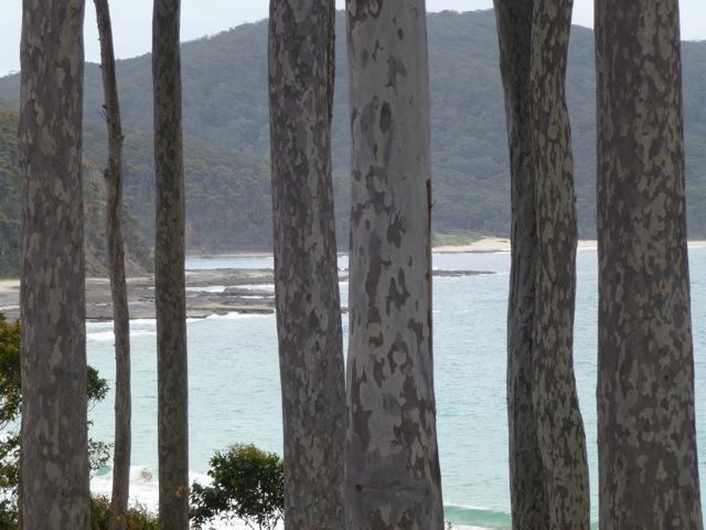 View through the mottled eucalyptus trunks to the ocean