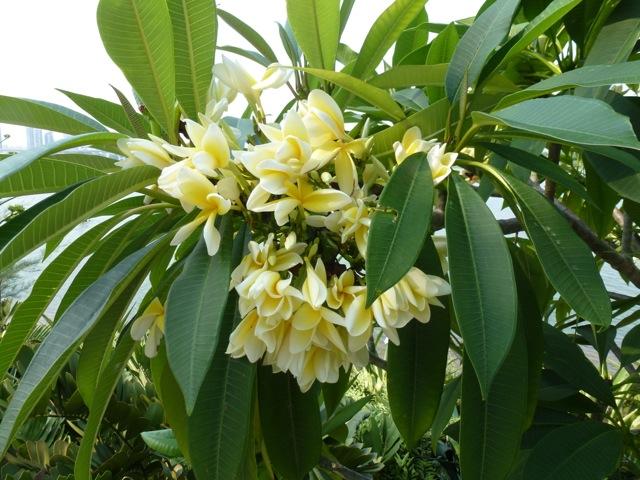 yellow flowering pulmeria