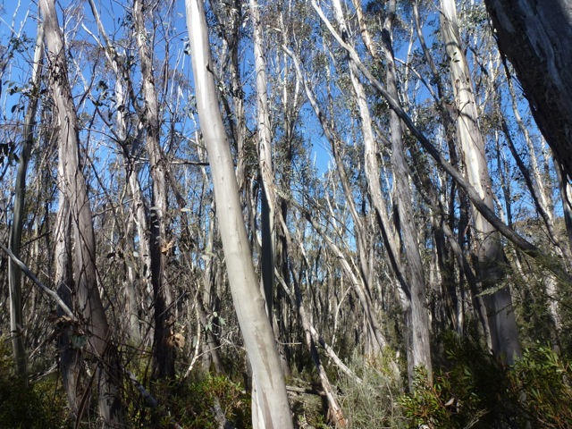 Silvery snow gum trees