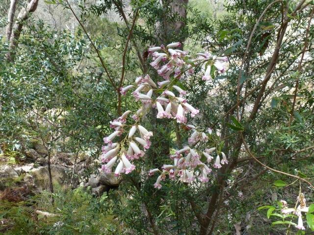 wonga wonga vine in flower