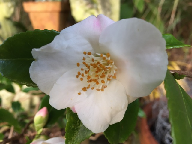 Camellia Quintessence in flower