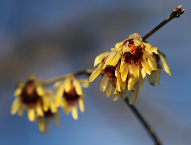 hanging petals of Chimonanthus praecox