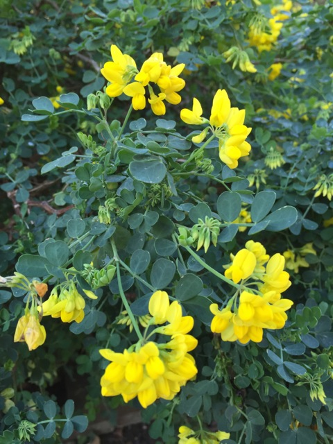 the bright yellow flowers of Coronilla valentina