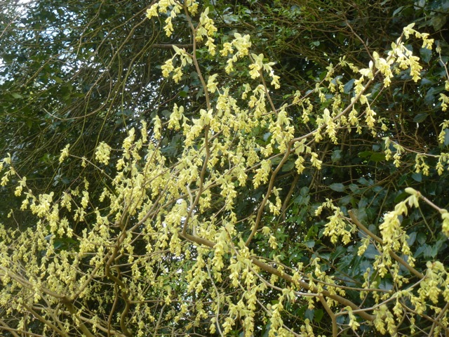 The soft yellow flowers of Corylopsis pauciflora