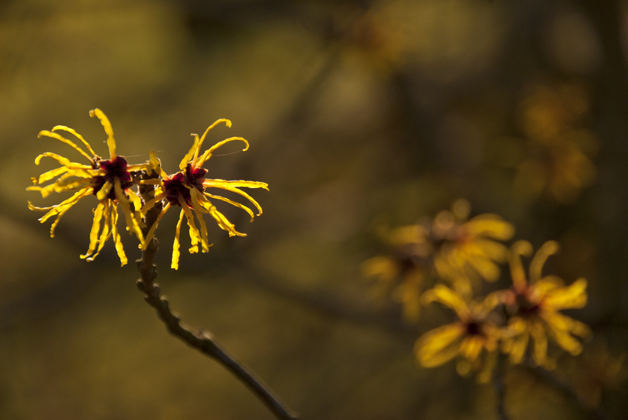 the petals of Hamamelis mollis catch the sun