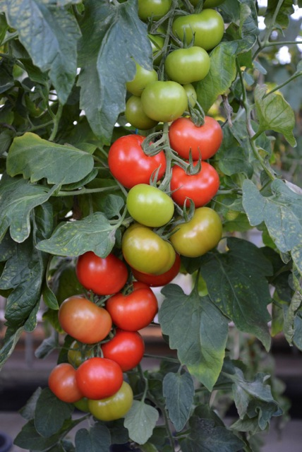 truss of blight free tomatoes