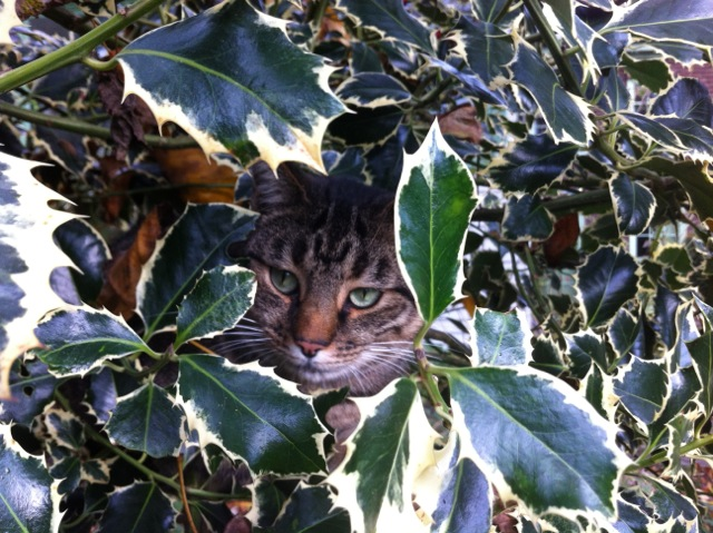 a cat hiding in a holly tree