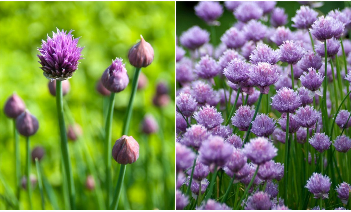 flowering chives at the peak of the herb season
